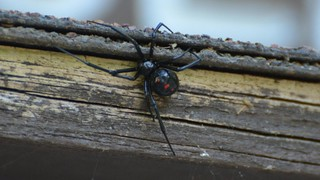 Black Widow Spider | by Wildreturn