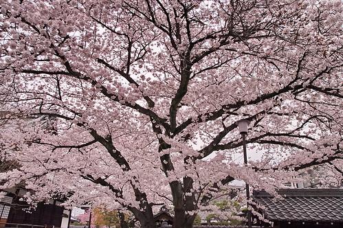 【写真】2013 桜 : 本隆寺/2020-05-19/IMGP9108