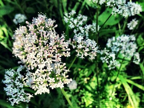 More Valerian in flower