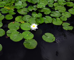 annual plant, flower, leaf, plant, herb, wildflower, flora, green, petal, aquatic plant,