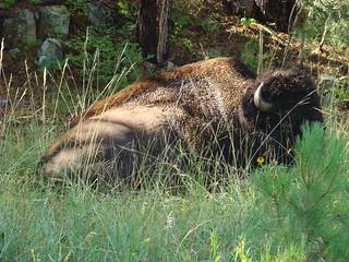 49 bizon