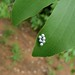 Small photo of Eggs of Mopane Worm (Imbrasia belina)