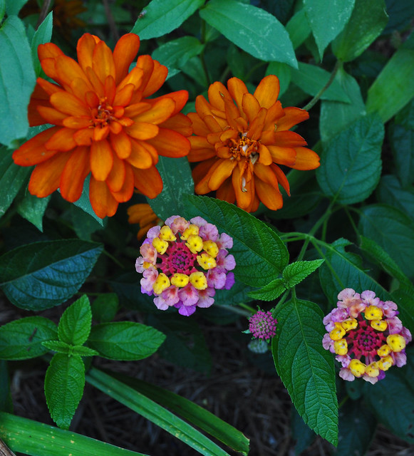 Zinnia marylandica 'Zahara Double Fire' and Lantana