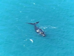 Another great shot of our friend the Whale of last week in Cape Bridgewater