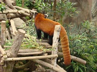 088 Kleine panda