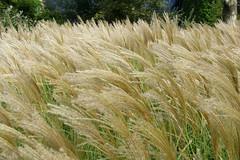 barley(0.0), wheat(0.0), grass(0.0), plant(0.0), food(0.0), hordeum(1.0), prairie(1.0), agriculture(1.0), triticale(1.0), rye(1.0), food grain(1.0), field(1.0), phragmites(1.0), crop(1.0), cereal(1.0), grassland(1.0),