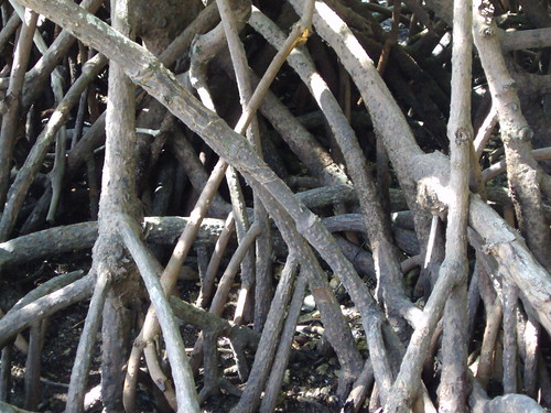 Mangrove roots on the beach at Cape Tribulation in the Daintree National Park Queensland.