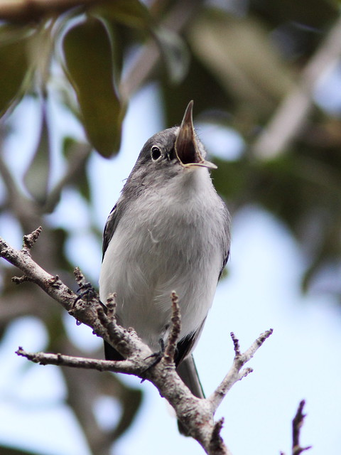 Blue-gray Gnatcatcher calling 20130924