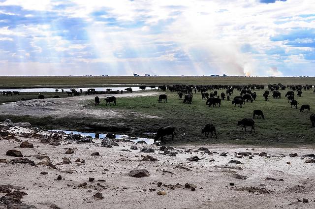 Búfalos cafre en las orillas del río Chobe. Parque nacional de Chobe. Botsuana.