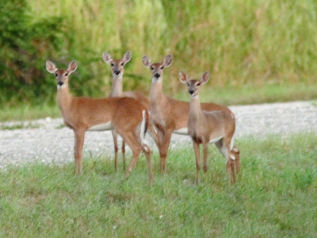 Four White-tailed Deer 1-20130930