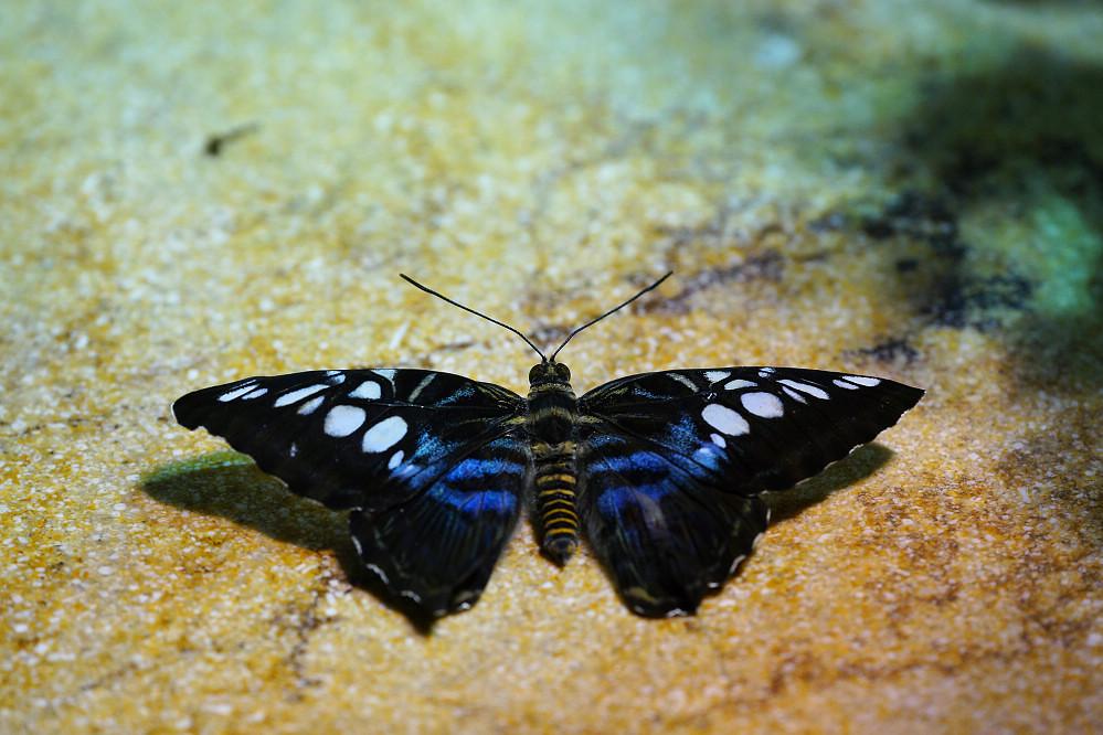 美洲蛺蝶 -2