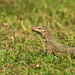 uttampegu posted a photo:	Monitor Lizard at Mangalwar Lake, approx. 70KM from Udaipur City.