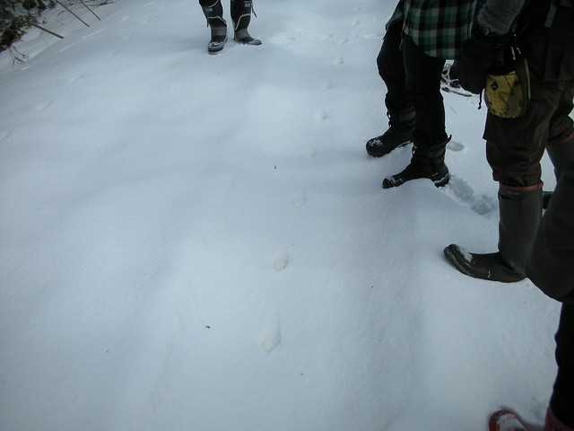 ひたすらまっすぐなキツネの足跡.
