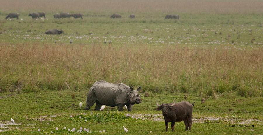Rhino-buffalo-Pobitora