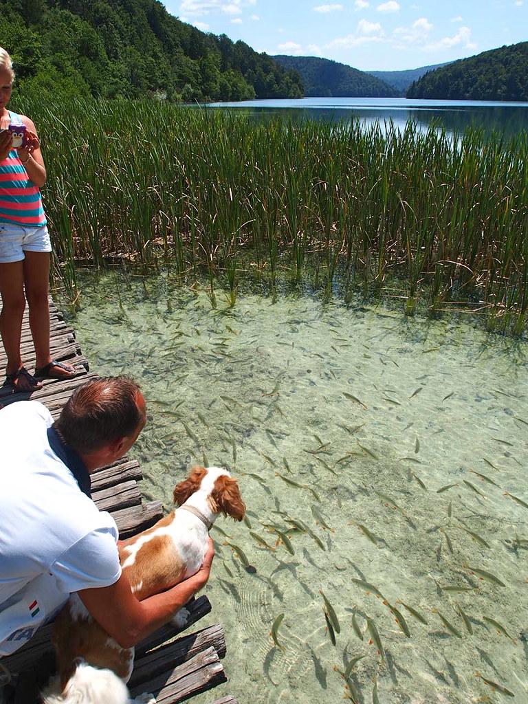 プリトヴィツェ湖群国立公園の湖に生息する沢山の魚を眺める人々と犬