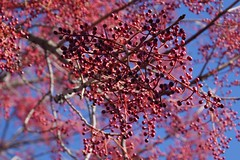 Klaus Naujok posted a photo:	Nothing but red berries are left on this tree. All the leaves are gone.