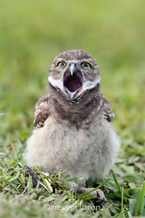 Tired Owlet