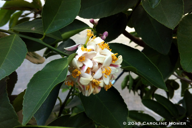 bearss lime blossoms