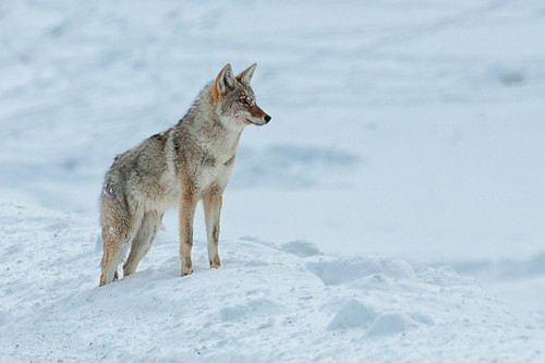 Wolf.  Photo © Flickr User: dbushue.