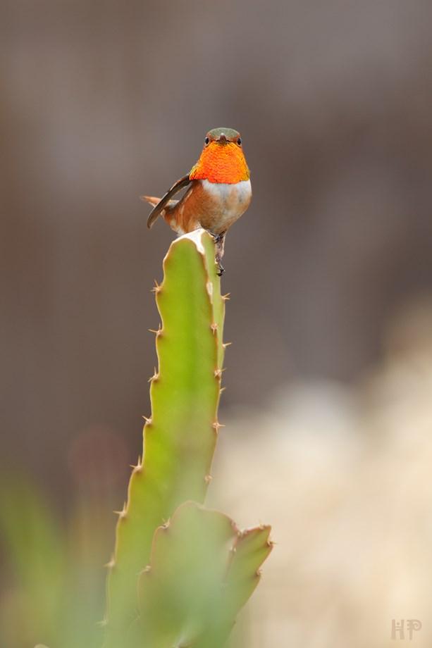 Allens Hummingbird 012414