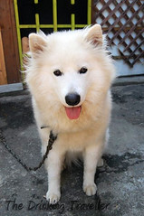 dog breed, animal, akita inu, german spitz klein, dog, eurasier, japanese spitz, pet, norwegian buhund, german spitz, canadian eskimo dog, kishu, german spitz mittel, carnivoran, american eskimo dog, samoyed,