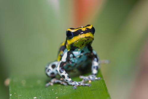 Poison Dart Frog. Tamshiyacu-Tahuayo Reserve, Peru. Dart Frog, Rio Tahuayo, Peru