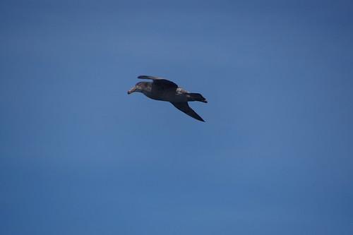 005 Reuzenstormvogel