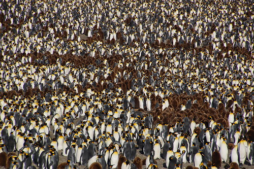 465 Koningspinguins