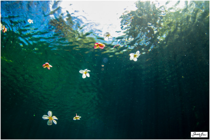 11_plumeria_flowers_in_water.jpg