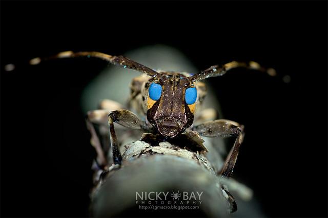Longhorn Beetle (Cerambycidae) - DSC_7711