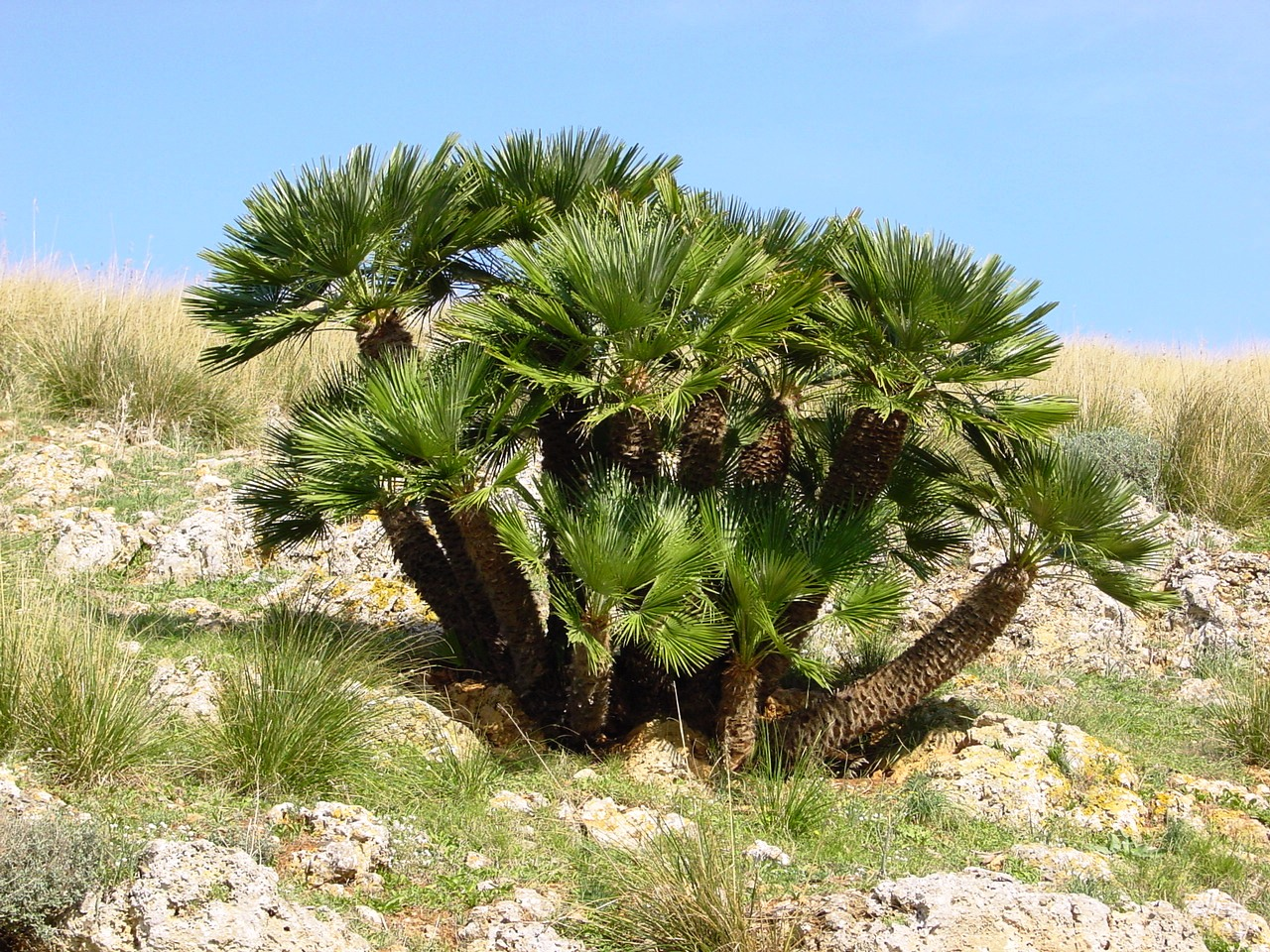 2. Palmito o Chamaerops humilis. Autor, Zingaro