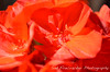 Geraniums Long for Springtime