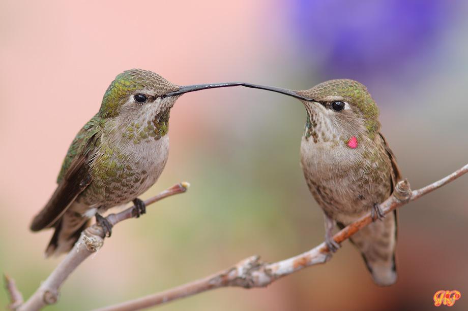 Anna's-Hummingbird-040214