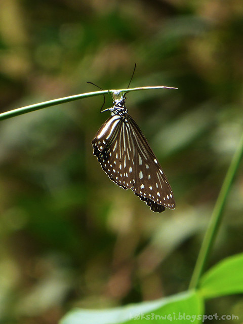 Mount Singai Dew Drinking Butterfly