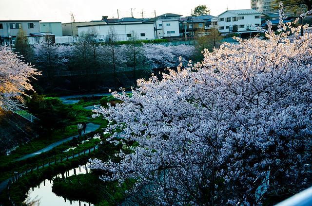 sakura_japan_14-4-5