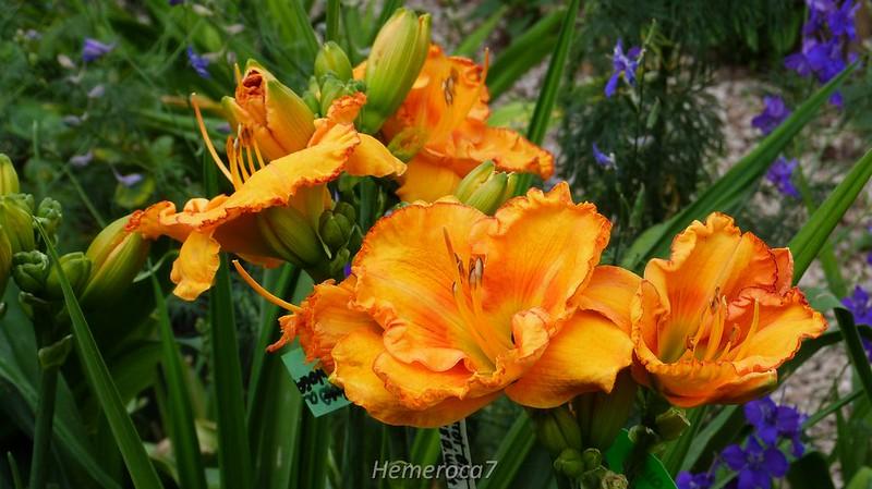 Hybrides 2014 chez hemeroca7 14271604221_1acf07dfa8_c