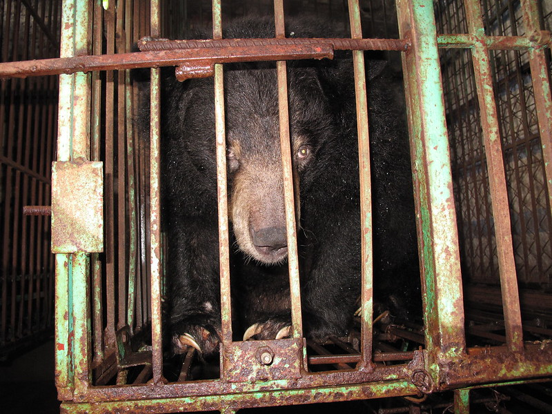 Moon bear Shanti in cage on Ty bear bile farm
