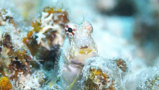 エリグロギンポ幼魚