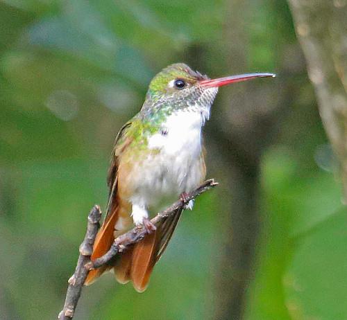 170228 2017 amazilia amaziliahummingbird amaziliaamazilia apodiformes ecuador hummingbird trochilidae vilcabamba bird
