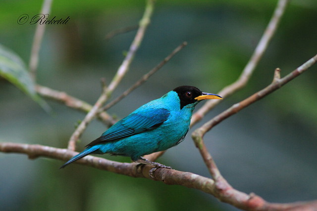 green honeycreeper male/  guit-guit émeraude male
