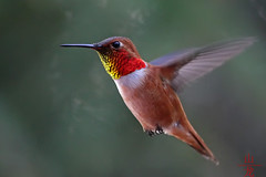Study of a male Rufous Hummingbird (Selasphorus rufus)