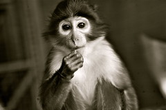 Fully Engaged- Mangabey One