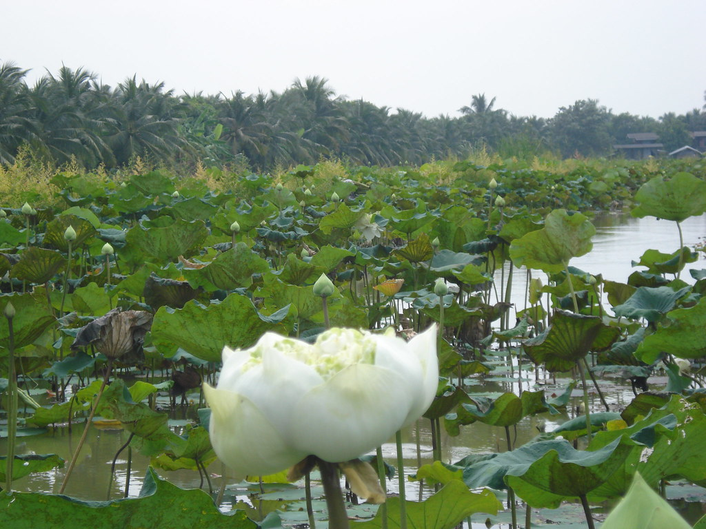 Lotus farm in Bang Yao