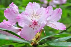 Pink Flower, Redwood National Park
