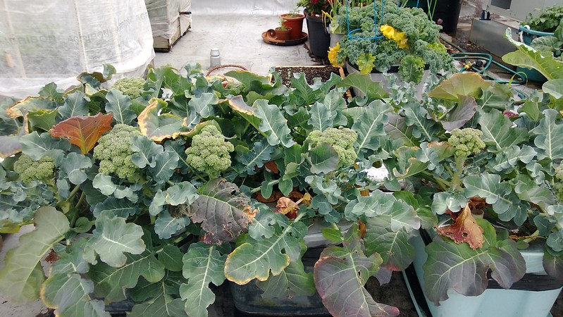 broccoliWP_20130603_016