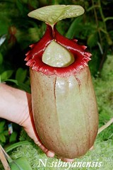 N. sibuyanensis