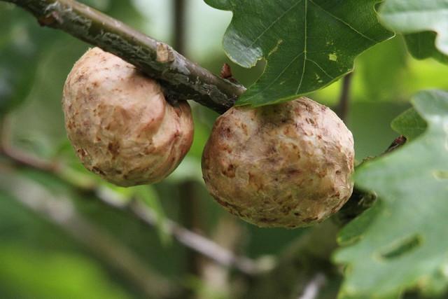 Oak Apple Galls, Baildon Moor