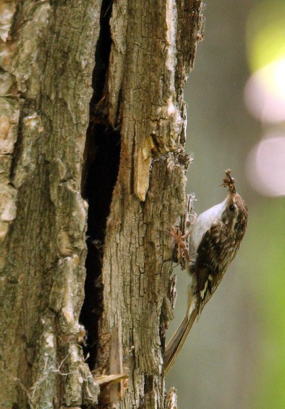 Grimpereau brun au nid 9186200001_4ced177eb5_c