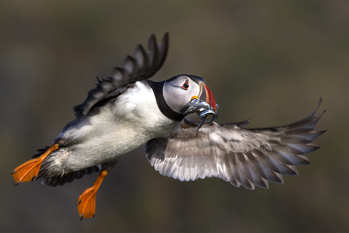 Puffin Flying with Sand Eels in Mouth