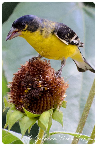 Lesser-Goldfinch-tongue
